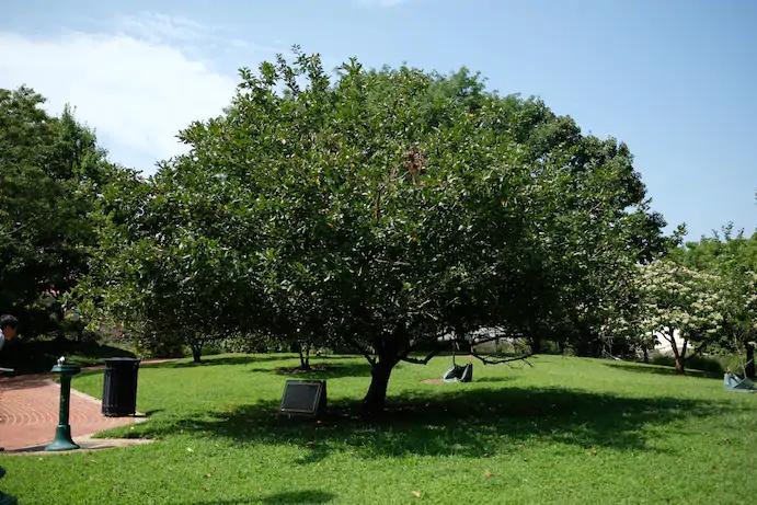 pohon apel yang memberikan newton inspirasi teori gravitasi